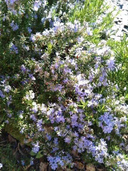 Fleurs-et-bourdons-Lily